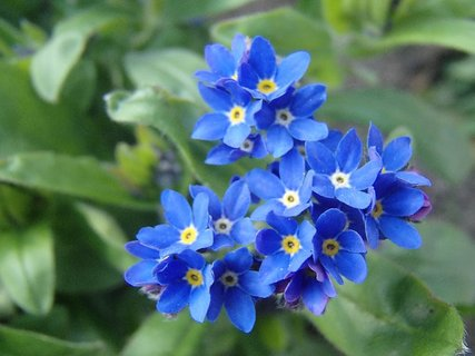 FOTKA - nezábudky kvitnú