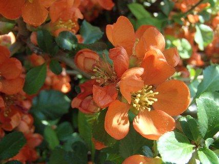 FOTKA - oranžové kvietky