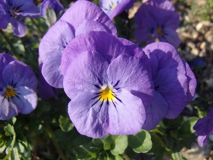 FOTKA - fialové sirôtky-kvitnú už dlho