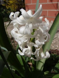 FOTKA - biely hyacint už dlho kvitne