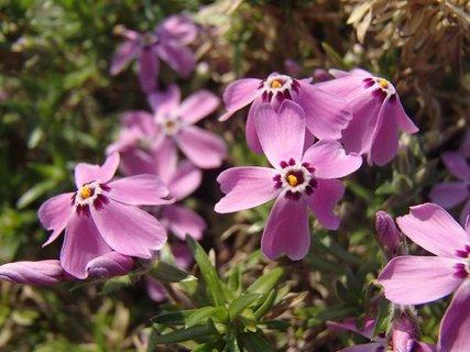 FOTKA - kvitnú na skalke