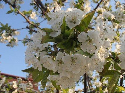 FOTKA - zakvitnutá čerešňa