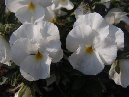 FOTKA - biele sirôtky v polotieni
