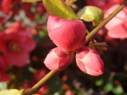 FOTKA - puky kvetov dule japonskej