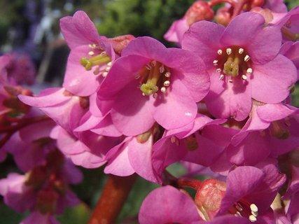 FOTKA - bergénia kvitne
