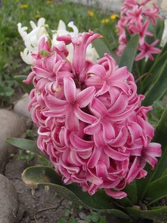 FOTKA - hyacinty ešte kvitnú