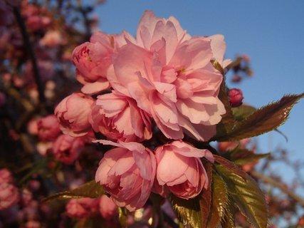 FOTKA - jeden kvietok rozkvitnut�, ostatn� sa e�te len rozvin�