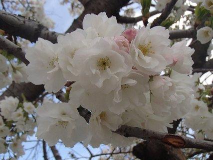 FOTKA - ru�ov� p��ky zakr�vaj� biele kvety