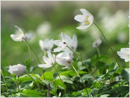 FOTKA - Květy sasanek