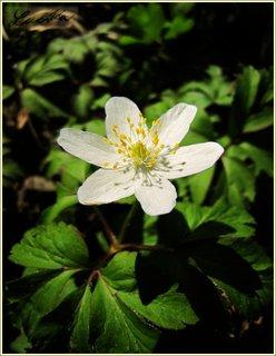 FOTKA - Bílý květ sasanky