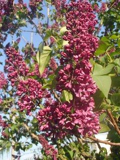 FOTKA - orgován začína kvitnúť
