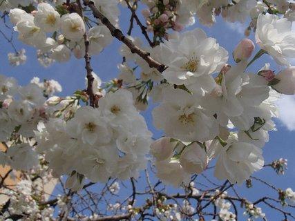 FOTKA - biele trsy kvetov