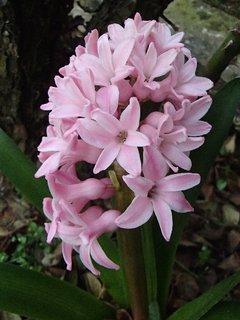 FOTKA - ružovkastý hyacint