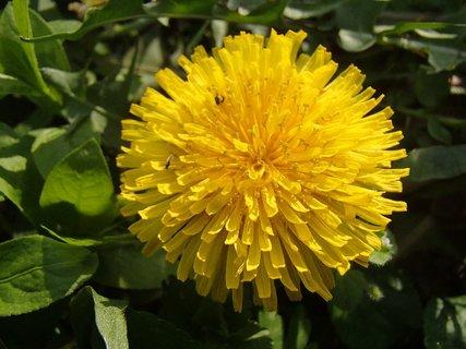 FOTKA - žltá hlavička púpavy