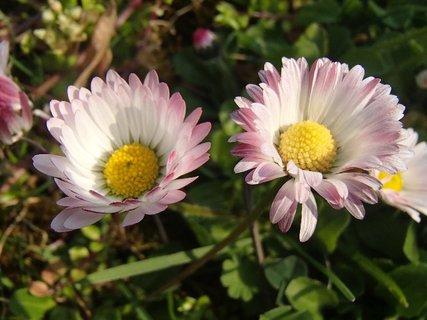FOTKA - sedmokrásky z lúky