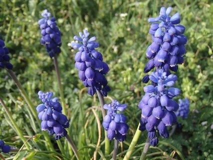 FOTKA - modrice ešte kvitnú