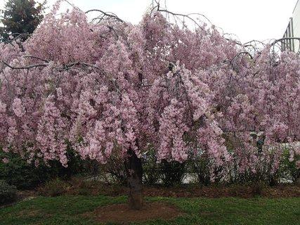 FOTKA - ružový strom