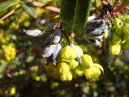 FOTKA - ešte sú tam aj plody z jesene a už kvitne nanovo