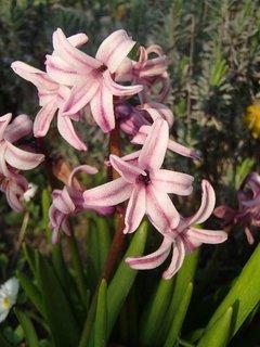 FOTKA - drobný ružový hyacint