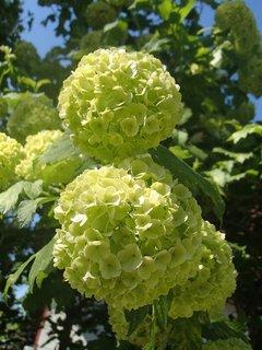 FOTKA - kvety kaliny-ešte zelené