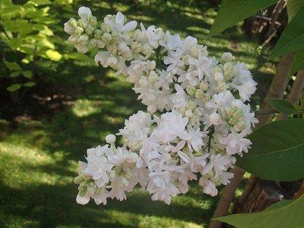 FOTKA - halúzka bieleho orgovánu-kvitne nabok