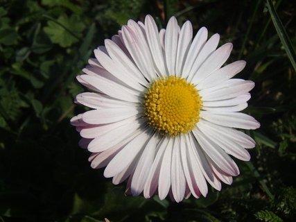 FOTKA - hlavička sedmikrásky