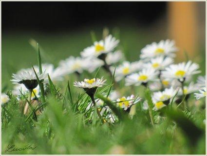 FOTKA - Detail sedmikrásek v trávě
