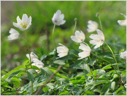 FOTKA - Krása jarních sasanek