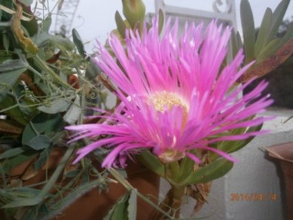 FOTKA - Takto kvetou zjara sukulenty