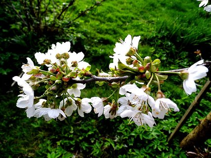 FOTKA - Kvetoucí třešeň