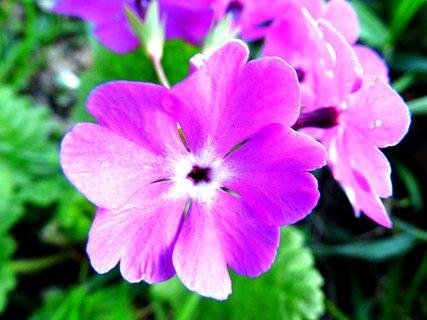 FOTKA - Petrklíč fialový