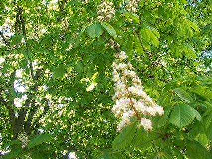 FOTKA - květ kaštanu