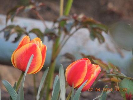 FOTKA - Tulipány žluto-červené