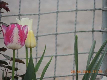 FOTKA - Tulipány 20.4. 2014