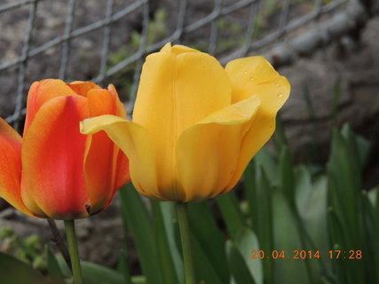 FOTKA - Žlutý a červený 20.4. 2014