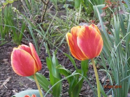 FOTKA - Tulipány - každý je jiný 11.4. 2014