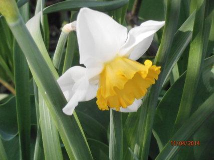 FOTKA - Narcis se žlutou sukýnkou 11.4. 2014