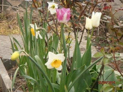 FOTKA - Narcisky a tulipány 22.4.2014
