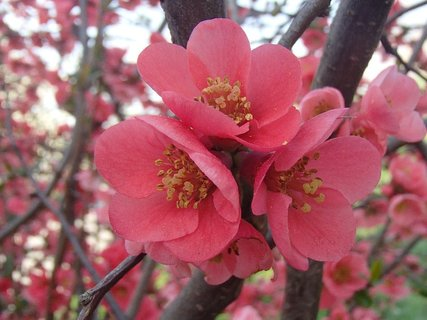 FOTKA - dula japonská kvitne už dlho