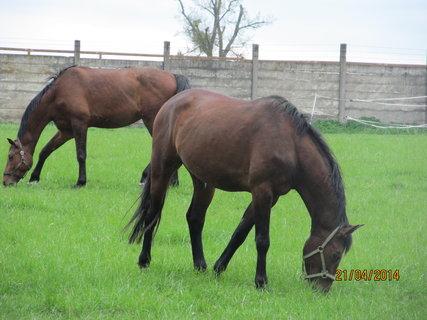 FOTKA - Pasoucí se koně