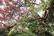 Centrální park ve Kbelích -  jeden strom - dvě barvy květů