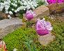 bíle lemované fialkové tulipány