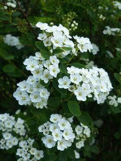 FOTKA - drobne bile kvety