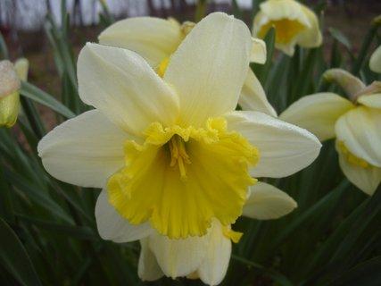 FOTKA - detail květu narcisky