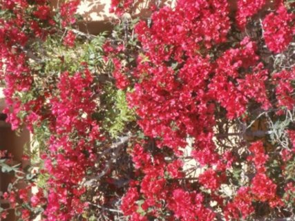 FOTKA - kvetouci bouganvilea