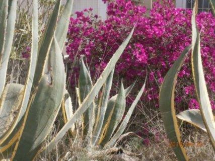FOTKA - kaktus, v pozadi bouganvilea