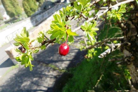 FOTKA - na rašícím hlohu loňský plod