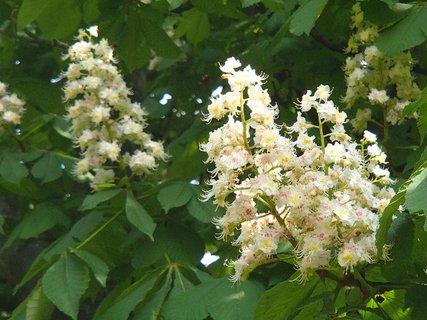 FOTKA - gaštan kvitne