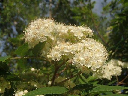 FOTKA - jarabina už kvitne