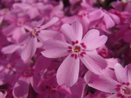 FOTKA - krása ružových kvietkov